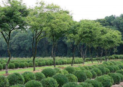 Amelanchier Lamarckii Baum von Team Grün