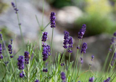 Blühender Lavendel im Garten