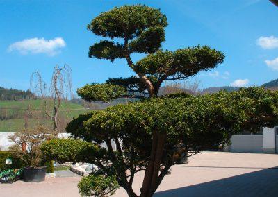 Bonsai Kiefer bei den Gartenprofis