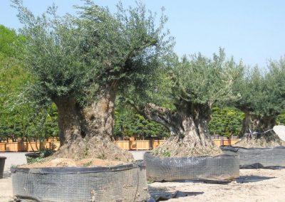 Olivenbäume aus der Toskana