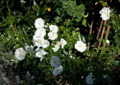 Rosen benötigen besondere Zuwendung