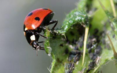 Blattläusen umweltschonend den Kampf ansagen