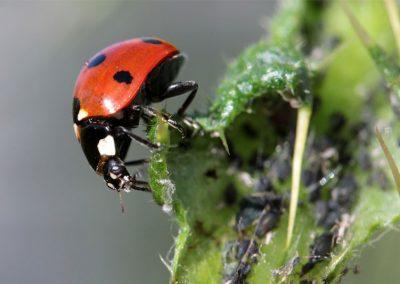 Marienkäfer fressen Blattläuse