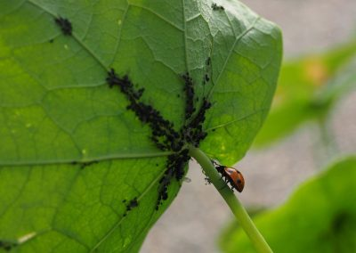 Schädlingsbekämpfung mit Nützlingen