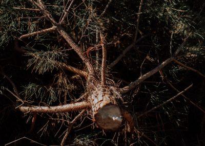 Frisch Gefällter Weihnachtbaum