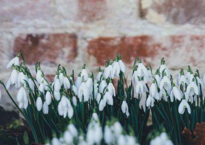 Schneeglöckchen blühen im Winter