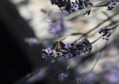 Bienenfreundliche Pflanzen verwenden