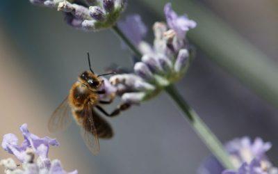Bienenfreundlichen Garten einrichten