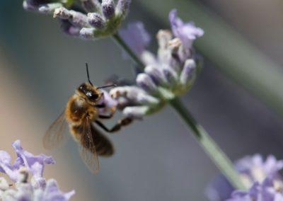 Bienen benötigen Blütennektar
