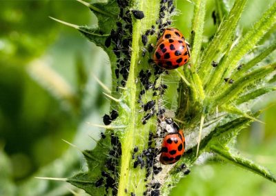 Pflanzenschädling Blattläuse bekämpfen