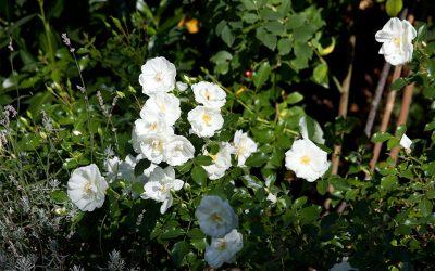Mehltau an Rosen – Erkennen und bekämpfen