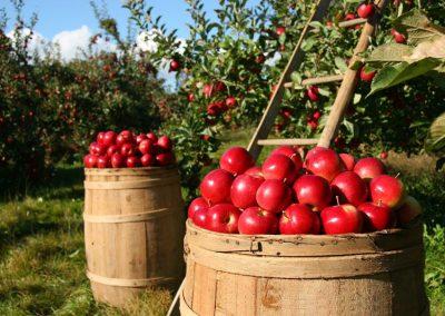 Äpfel Ernten Im September