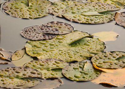 Gelbe Seerosenblätter Müssen Entfernt Werden