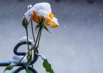 Rose mit Schneehaube