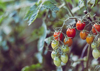 Durch Idealen Kalkwert Gesunde Tomaten Züchten