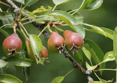 Obstbäume Beschneiden