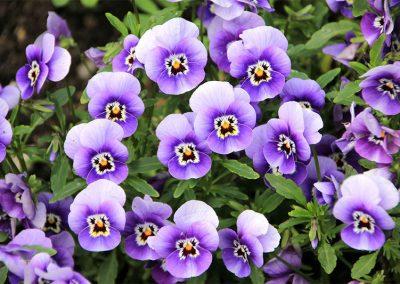 Stiefmütterchen Im April Pflanzen