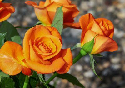 Rosen wurzeln tief und haben keine Probleme bei trockenen Wetter
