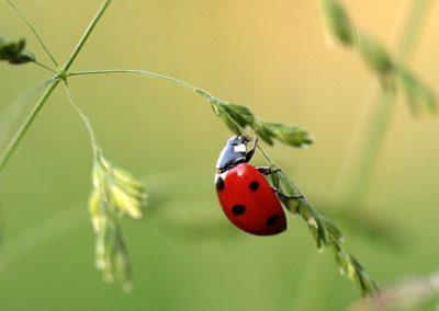 Nützliche Im Garten Wie Marienkäfer Helfen Schädlinge Fern Zu Halten