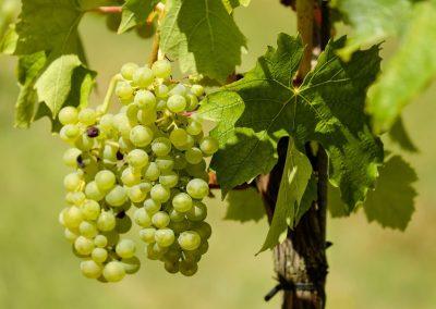 Schädlinge von Trauben fernhalten