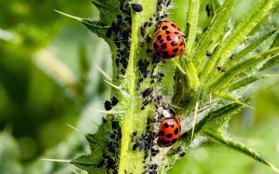 Bekämpfung Blattläuse