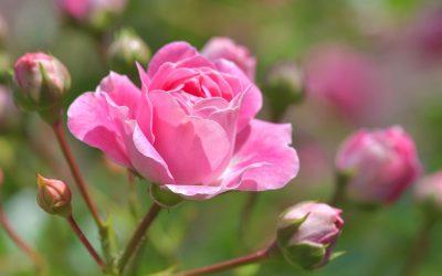 3 Tipps Für Üppige Rosen